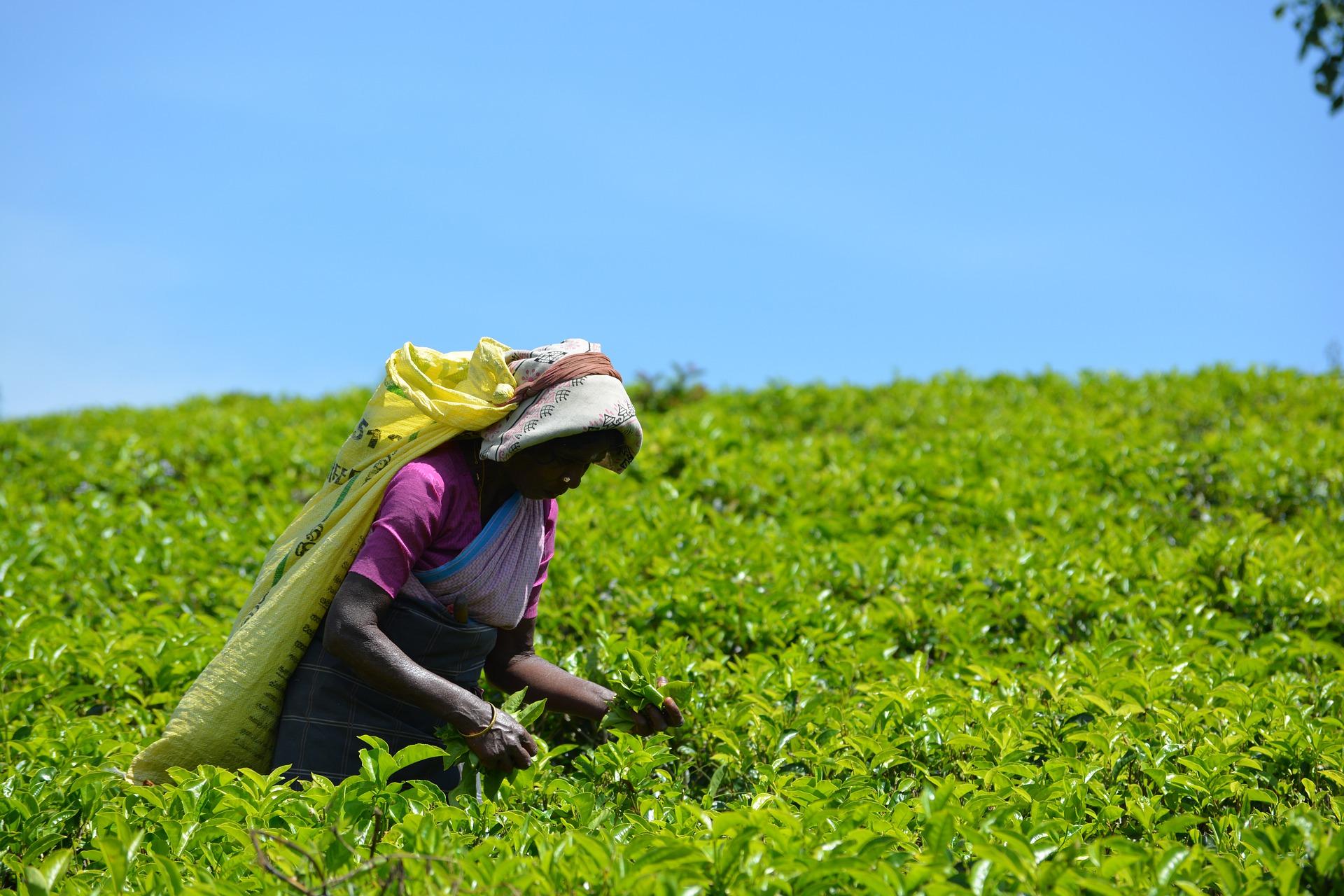 Dobra herbata Fairtrade